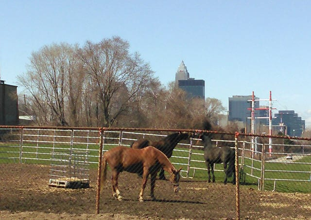 The urban landscape forms a backdrop to the horses home