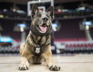 A police dog lying at half court